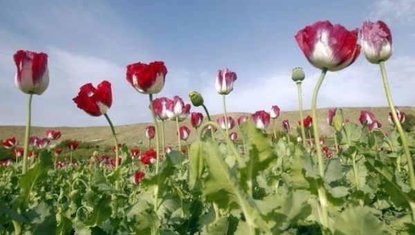 US Airstrikes in Afghanistan Take Aim at Taliban Opium Labs