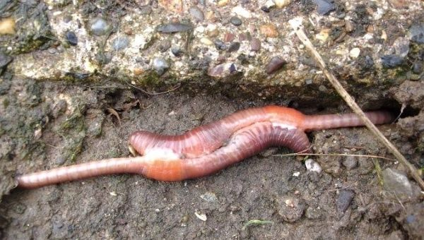 Earthworms leading the race to Mars