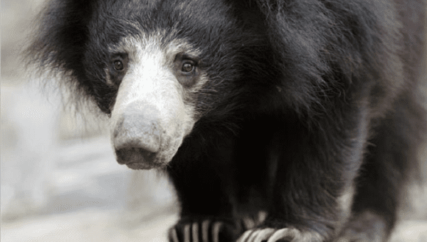 Nepals last known dancing sloth bears rescued