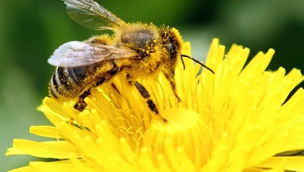 European Union neonicotinoid report creates buzz, may not save bees