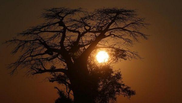 The sun rises behind a Baobab tree in the Okavango Delta Botswana